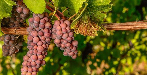 Pinot Grigio vs. Pinot Gris